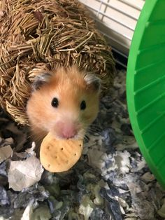 This sub is dedicated to hamsters and their humans. Cookie Time, Hamsters, Cookies, Pets, Crack Crackers, Biscuits, Cookie Recipes, Cookie, Biscuit
