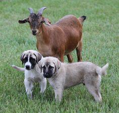 or anatolian shephards Anatolian Shepherd Puppies, Shepherd Dog, Weimaraner, Rhodesian Ridgeback, Gaurd Dogs, Animals And Pets, Cute Animals, Street Dogs, Herding Dogs