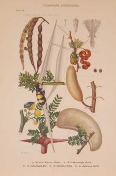 Original 1925 vintage botanical print titled Leguminoseae Plate 18 by Rudolph Marloth. The print was published as part of a set on the flora of South Africa. Print size is 11 by 8 inches. Art Journal Challenge, Vintage Botanical Prints, Is 11, Prints For Sale, South Africa, Flora, Plates, The Originals, Antiques