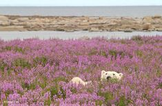 Wildlife and nature photographer Dennis Fast captured rare images of polar bears playing in flower fields during the summer. See his incredible shots here! Polar Bears Live, White Polar Bear, Rare Photos, Funny Photos, Champs, Pictures Of Polar Bears, Enjoy The Sunshine, Cute Creatures, Beautiful Creatures