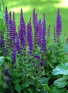 East Friesland Salvia - A favorite for its long bloom season, East Friesland salvia is a mound-shape plant with spikes of violet-purple flowers in summer and fall. It attracts a lot of bees, butterflies, and hummingbirds to the garden. Herbaceous Perennials, Flowers Perennials, Planting Flowers, Balcony Plants, Garden Plants, Meadow Sage, Herbaceous Border, Purple Garden, Perfect Plants