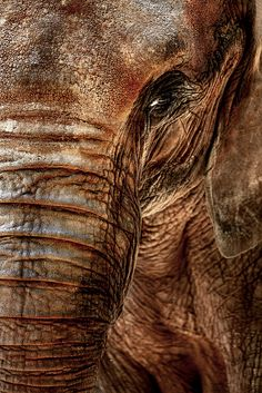 Fine Art Photograph - Elephants Never Forget - Safari Limited Edition Print African Forest Elephant, Elephant Eye, Elephant Photography, Elephants Never Forget, Elephants Photos, Animal Paintings, Elephant Paintings, Indian Paintings, Abstract Paintings
