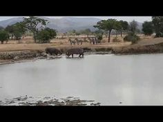 Breathtaking experience as you see natural interactions of animals in the wild Serengeti National Park, National Parks, Nature, Animals, Animaux, Animal, Animales, Nature Illustration, Off Grid