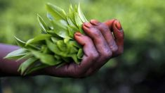 Freshly plucked tea leaves are seen in the hand of a tea garden worker inside Aideobarie Tea Estate in Jorhat in Assam, India, April REUTERS/Ahmad Masood Green Tea Plant, Tea Brands, Darjeeling, Orchid Care, Garden Pictures, My Tea, Climate Change, Brewing, Leaves