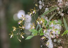 Encyclia tampensis (Tampa Butterfly Orchid) from Florida, USA by Mary Keim via flickr (cc-by-nc-sa). Read more about this orchid on EOL: http://eol.org/pages/1110974