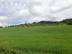 Il grano varietà Autonomia seminato nel campo sotto l'oliveto