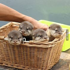 A Basket of Baby Otters! #9gag by 9gag