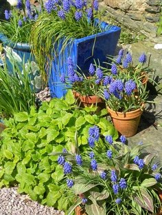 Need to plant loads of Muscari bulbs: make this place look beautiful in spring and the bees love them!