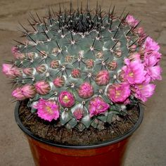 Cactus and Succulents 925 Types Of Succulents, Cacti And Succulents, Planting Succulents, Cactus Plants, Planting Flowers, Echeveria, Exotic Plants, Exotic Flowers, Amazing Flowers