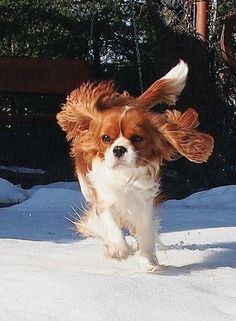 Happy Blenheim Cavalier in the snow