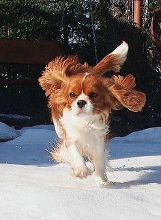 Happy Blenheim Cavalier in the snow