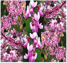 WESTERN Redbud Tree Seed  Cercis occidentalis by ALLooABOUTooSEEDS