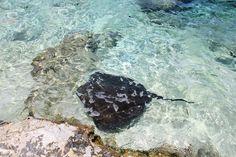 """Wandkalender """"Lagoonarium auf Mo'orea"""", Kalenderblatt April: Der Schwanz des Stachelrochen ist mit Giftstacheln bewehrt"""