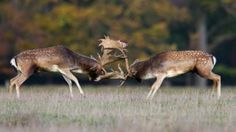 Fallow deer engage in fierce fights (credit: Arterra Picture Library / Alamy Stock Photo)