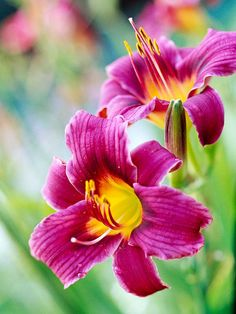 This award-winning miniature daylily offers lots of purple flowers in early and midsummer! http://www.bhg.com/gardening/flowers/perennials/daylilies-gallery/?socsrc=bhgpin022515littlegrapette