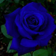 My Ladybug [Miraculous Ladybug Fanfic] - Una Rosa Azul Para Una Princesa - Wattpad Beautiful Rose Flowers, Rare Flowers, Love Rose, Exotic Flowers, Amazing Flowers, Ronsard Rose, Rose Violette, Blue Rose Tattoos, Purple Roses