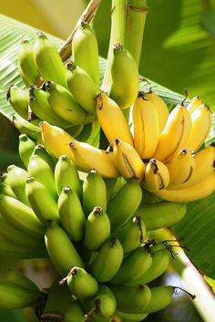 """Bananas on Tree"" ~ Photography by Myrlys Stockdale on Getty Images"