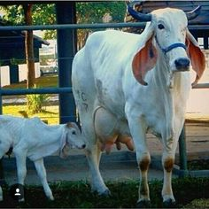 We help you to start cow farming on your own milk logo Rare Animals, Animals Images, Animals And Pets, Cattle Farming, Livestock, Gado Leiteiro, Bulls Wallpaper, Bucking Bulls, Bull Cow