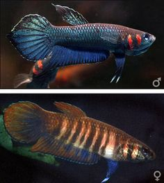 Betta Foerschi group - includes B. Foerschi, B. Strohi, B. Mandor, and B. Rubra. Pictured is Betta Mandor; all but Rubra (only red) look similar