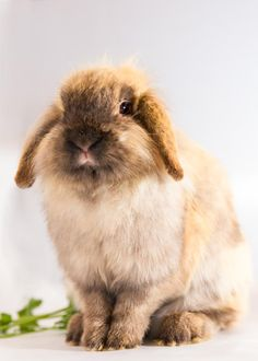 Meet Dreamer, an adoptable Lop Eared looking for a forever home. If you're looking for a new pet to adopt or want information on how to get involved with adoptable pets, Petfinder.com is a great resource.