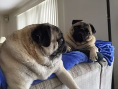 Our couch pugtatos - Lacey & Waffles
