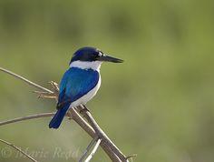 Forest Kingfisher (Todiramphus macleayii), Fogg Dam, Northern Territory, Australia #blue #bird