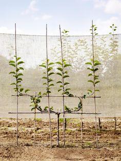Espalier Fruit Trees, Fruit Tree Garden, Dwarf Fruit Trees, Garden Trellis, Vegetable Garden, Garden Plants, Prune Fruit, Small Gardens, Garden Inspiration