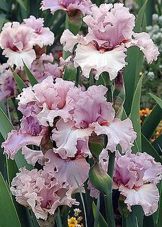 TALL BEARDED IRIS 'Country Kisses' Lots of flowers. Makes a great show.