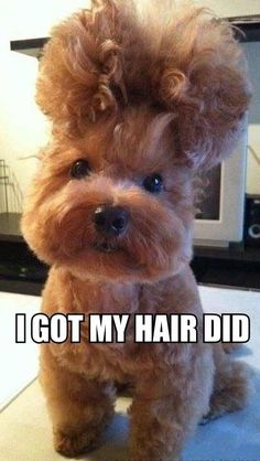 I Got My Hair Did - Cute Dog with Poofy Poodle Hairdo - Grooming Fail ---- hilarious jokes funny pictures walmart humor fails