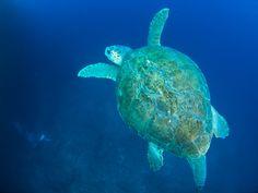アカウミガメ♂
