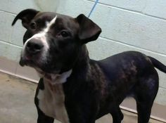 STATUS UNKNOWN - Jemima - URGENT - Dekalb County Animal Shelter in Decatur, Georgia - ADOPT OR FOSTER - 2 year old Female American Pit Bull Mix
