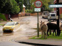 New Forest, Brockenhurst -- Donkeys beside the road.