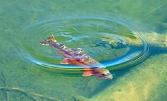 575866fcad Fly Fishing Art Photo – Golden Trout