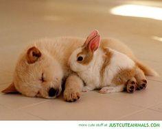 Adorable Couple shiba pup and bunny