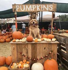 way too cute 😍🎃🍁🐕 fall autumn autumnvibes🍁 seasonsinspire halloween pumpkins dog falldog Cute Funny Animals, Cute Baby Animals, Cute Puppies, Cute Dogs, Autumn Cozy, Jolie Photo, Autumn Inspiration, Happy Fall, I Love Dogs
