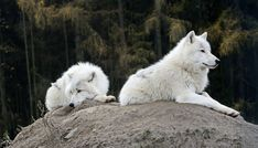 Nice shot!! #whitewolf