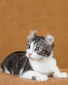 American Curl.  Descended from a stray cat with funny ears that appeared at a Lakewood, California, doorstep in 1981, the American Curl - distinctive for its curled-back ears - retains a kitten-like personality well throughout adulthood.