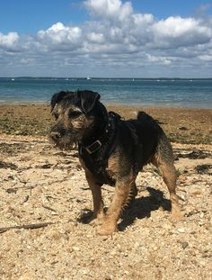 Buddy at Thorness Bay, Isle Of Wight  #lakelandterrier