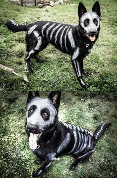 Easy DIY Dog Costumes for Halloween - Halloween decorations - Halloween costumes diy Big Dog Halloween Costumes, Pet Costumes For Dogs, Cute Dog Costumes, Pirate Costumes, Halloween Diy, Costume Ideas, Dog Skeleton Costume, Animals In Costumes, Scary Costumes