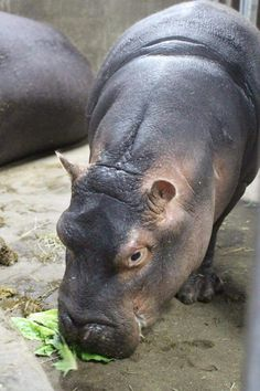 #FionaFix Baby Hippo, Baby Animals, Cute Animals, Wild Animals Photography, Wildlife Photography, House Hippo, Fiona The Hippo, Cincinnati Zoo, Puppies And Kitties