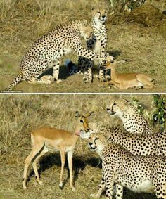 Photographer Michel Denis captured these amazing pictures on safari in Kenya.   Read more : https://www.facebook.com/photo.php?fbid=584227428299192&set=pb.465036026885000.-2207520000.1386413054.&type=3&src=https%3A%2F%2Fscontent-a-ams.xx.fbcdn.net%2Fhphotos-ash3%2F549596_584227428299192_1063557922_n.jpg&size=750%2C900 …