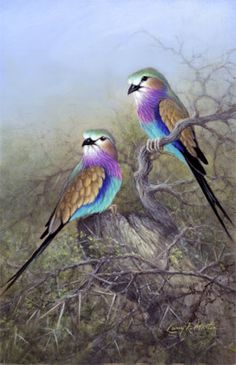 lilac breasted roller nest - Google Search