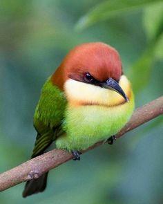SOPPY SUNDAY : The chestnut-headed bee-eater (Merops leschenaulti), or bay-heade. - SOPPY SUNDAY : The chestnut-headed bee-eater (Merops leschenaulti), or bay-headed bee-eater, is a n - Cute Birds, Pretty Birds, Small Birds, Colorful Birds, Little Birds, Beautiful Birds, Animals Beautiful, Cute Animals, Tiny Bird