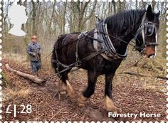 "Royal Mail issues set of stamps saluting working horses ~ The set is completed with a forestry horse. Heavy horses are used in logging in environmentally sensitive areas. The stamp depicts Tom, a 16-yr old Shire who is described as the ""mainstay"" of Ben May's forestry and farmiong operation near Hatherleigh, Devon. Horse & Hound"