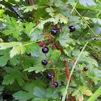 black gooseberry bush