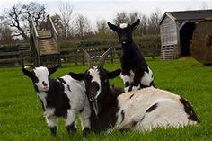 Raising Pygmy Goats