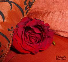 Die Rose, fein gebettet ...