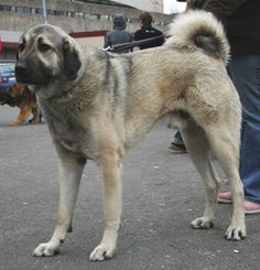 8. Anatolian Shepherd  The Anatolian Shepherd Dog is a muscular breed with a thick neck and broad head, commonly used for guarding sheep from wolves, bears, jackals, and even cheetahs. It stands 29 to 36 inches and weighs between 90 and 150 pounds.