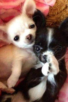 I Love Chihuahuas