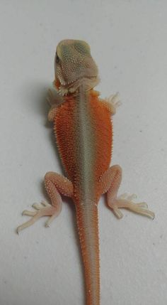 What Fruits And Other Foods Make A Good Diet For Bearded Dragons? Bearded Dragon Colors, Bearded Dragon Cage, Bearded Dragon Funny, Bearded Dragon Habitat, Cute Reptiles, Reptiles And Amphibians, Mammals, Animals And Pets, Funny Animals